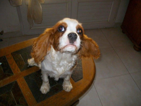 chiot cavalier king charles non lof 5 mois blenheim var var 83. Black Bedroom Furniture Sets. Home Design Ideas